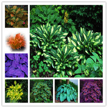 free shipping 100pcs/pack Hosta Seeds  Perennials Plantain Lily Flower White Lace Home Garden Ground Cover Plant