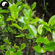 Buy Wuyi Oolong Tea Tree Seeds 30pcs Plant Wu Yi Yan Cha For Da Hong Pao(China)