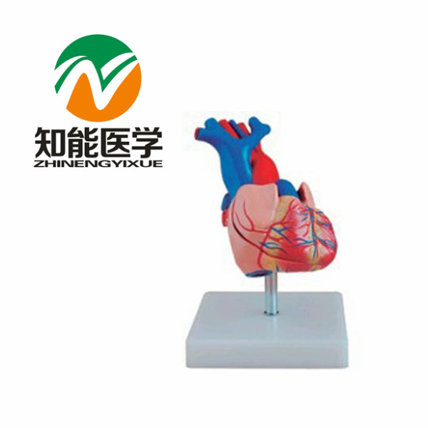 Natural big heart anatomy model BIX-A1054 Russian Federation freight free<br><br>Aliexpress