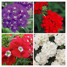 Verbena seed crystal series multicolor select 20 seeds(China)