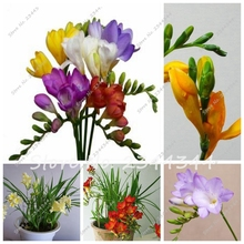 100/bag High Quality Freesia Seeds, Freesia Potted Seed, Freesia Flower Balcony Office Aerobic Potted(China)