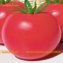 100% Real Russian Giant Pink Tomato Seed, 200 Seed/Pack, Juicy fleshy, Tangy flavor, Organic Fruit & Vegetable Seed-Land Miracle
