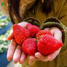 2016 Direct Selling Indoor Plants strawberry Rare Color Fruit Seeds Home Garden Diy For Bonsai
