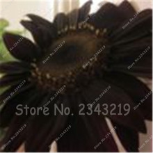 20 pcs Giant Sunflower Seeds Black Giant Big Flower Seeds, Black Sunflower Russian Sunflower Seeds for Home Garden(China)