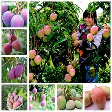 2 Pcs Bonsai Mango Seeds Delicious Fruit Vegetables Seed 100% Real Mango Seeds Pot Plant For Home Garden Perennial Nature Plants