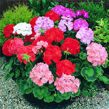 10 pcs seeds Geranium seeds, potted balcony, planting seasons, DIY planting flowers mixed colors bonsai seeds