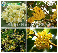 20pcs/pack osmanthus seeds,Courtyard fragrant flower seeds, Kim seeds, sprouting rate 95%