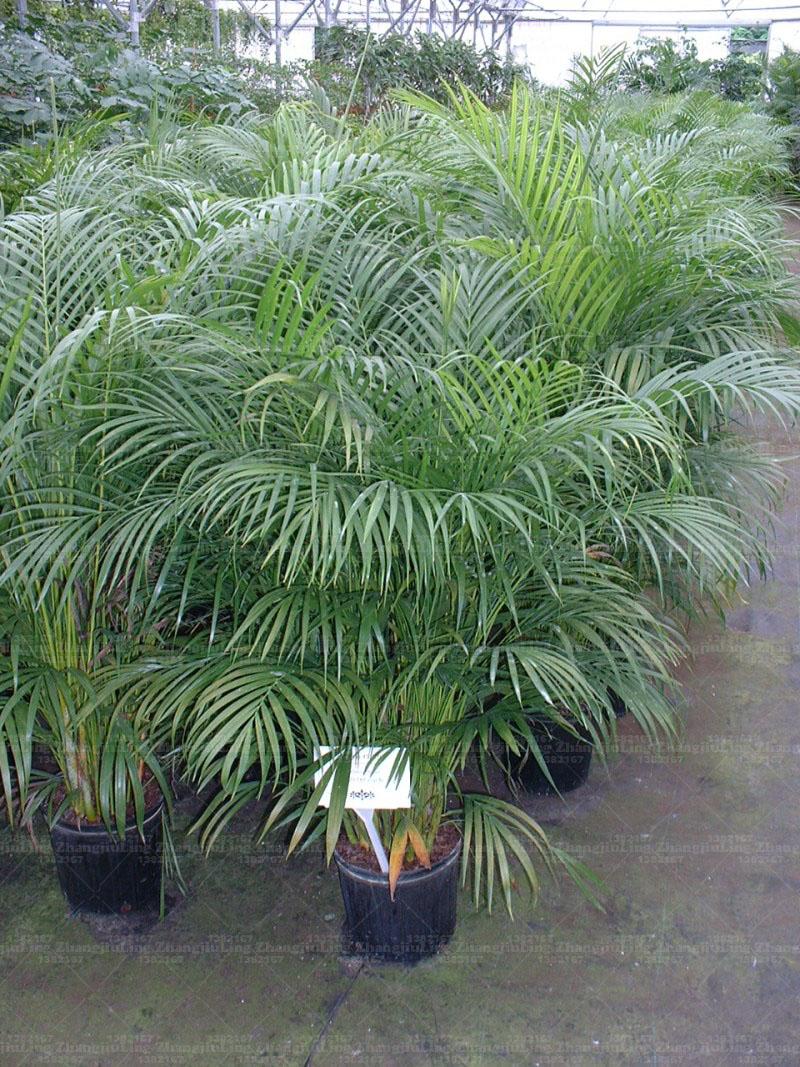 Areca-palm-plants
