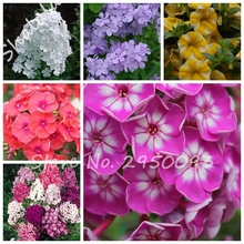 Bonsai Phlox Seeds 120pcs Multi-Color Perennial Flower Seeds Novel Plant for DIY Garden,Rare Phlox Flower Beauty Your Courtyard