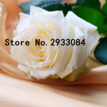 A Common Garden of White Roses 100 Seeds Fragrant Flowers and Potted Plants Growing Roses Seed(China)