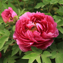 10 Seeds Pack China National Flower Peony Seedling Seeds Pink Red and White color semenatsvety room flowers(China)
