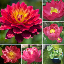 RED LOTUS Nymphaea Asian Water Lily Pad Flower Pond Seeds Aquatic plants Seeds 10Pcs E37