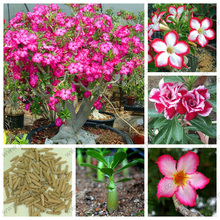 Desert Rose flower seeds in bulk,Apocynaceae Adenium obesum seeds,100% is truly rare and expensive species,1 pcs/bag(China)