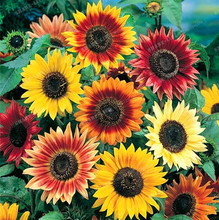 20PCS MIX Colors Available Sunflower Seeds Organic Helianthus Annuus Seeds Ornamental Flower Plant for Gardening  home garden