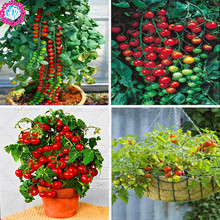 Low price!200pcs/bag rare mini tomato seeds yellow red black color Non-GMO organic fruit vegetable plant bonsai for home garden(China)