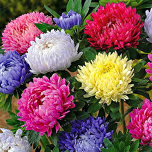 100pcs Cute Aster Chrysanthemum Seeds (Callistephus)Bonsai Plant Give You a Garden Full of Bright Summer big Flowers Home Garden(China)