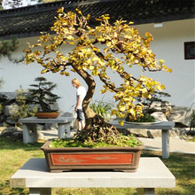 Easy planting balcony patio potted Flower seed,Bonsai Ginkgo Tree Seeds -1pcs/lot