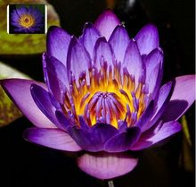 Professional Packs, 2 Seeds/pack, Purple Nymphaea Caerulea Asian Water Lily Pad Flower Pond Seeds