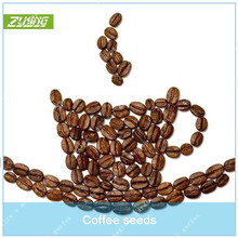 ZLKING 20 Pcs Chinese Coffee Bean Bonsai Tree Seeds High Germination Rate Natural Organic Non-GMO Exotic Flower Plant