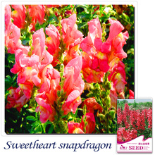 Buy 2 Get 1!(Can accumulate ) 1 Pack 60 Seed bright red common snapdragon seeds A181(China)