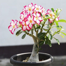Unique Pink Red Edge Desert Rose Seeds Potted Flowers Seeds Ornamental Plants Balcony Adenium Obesum Seeds 1 PCS