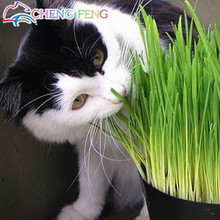 Hot Sale Cat Grass Seeds Rare And Nutritional Foliage Plants Wheat Seeds Indoor Garden Diy Bonsai Plant For Pet 200pcs / Packing(China)