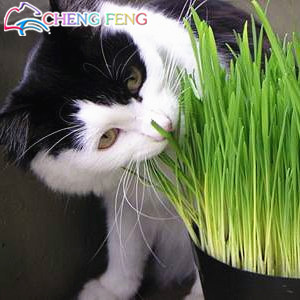 Hot Sale Cat Grass Seeds Rare And Nutritional Foliage Plants Wheat Seeds Indoor Garden Diy Bonsai Plant For Pet 200pcs / Packing(China (Mainland))