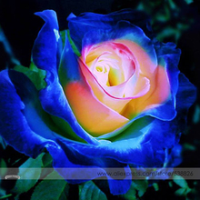 Rare Blue Pink Yellow Rose Bush Flower Seeds, Professional Pack, 50 Seeds / Pack, Light Fragrant Garden Flowers #NF676