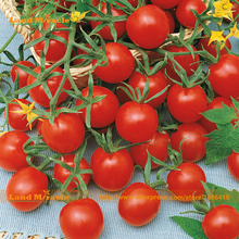 Tomato 'Ladybug' Fruit Seed, 20 Seeds/Pack,The Sweetest Red Cherry Solanum Lycopersicum For Home Garden-Land Miracle