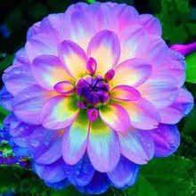 dahlia,dahlia flower vary Colors Dahlias Seeds For DIY Home Garden 20 seeds /bag(China)