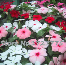 50pcs/lot rose red color Madagascar Periwinkle Seeds, catharanthus roseus flower seed free Shipping