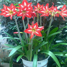 10 Seed/pack Amaryllis seeds, free shipping cheap Amaryllis seeds, Barbados lily potted seed, Bonsai balcony flower
