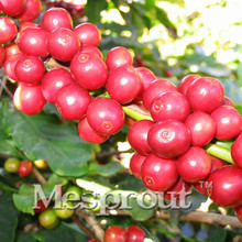 20PCS Coffee Bean seeds,Coffee Shrub Of Arabia (Coffea arabica) Organic plant,Balcony Bonsai Tree seeds,plant for home garden