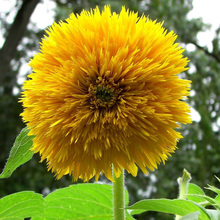 15 pcs Teddy Bear Sunflowers giant sunflower rare flower seeds for home garden planting sunflower seed B026
