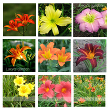 30pcs daylily seeds, Indoor Plants perennial flower seeds mix