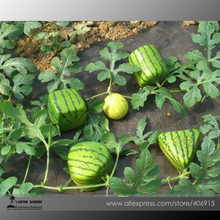 Rarest Square Triangular Cylindrical Small Watermelon Seeds, Professional Pack, 20 Seeds / Pack, 15% Sugar Sweet Juicy(China)