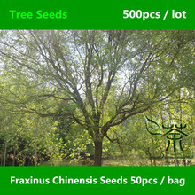 Ornamental Plant Fraxinus Chinensis Seeds 500pcs, Beautifying Chinese Ash Deciduous Tree Seeds, Flowering Plant Bai La Shu Seeds