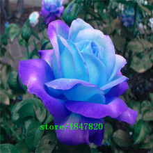 GGG Free Shipping 100 Midnight Supreme Rose Seeds , Rare color, Real seeds, Ideal DIY Home Garden Flower(China)