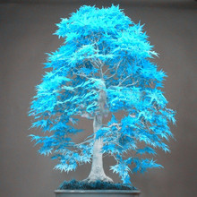 20 bonsai blue maple tree seeds rare sky blue japanese maple seeds Balcony plants for home garden