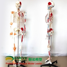 Medical 170CM human skeleton model muscle skeleton specimen anatomy spine orthopedic teaching
