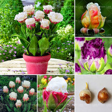 Buy 2pcs Tulip Bulbs Double Tulip 'Barbados' (not seeds)Bonsai Flower Bulbs High Bulbous Root Tulipanes Garden Potted Plant for $2.55 in AliExpress store
