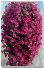 20 Seeds/pack Hanging Petunia Rose Red Wavy Flower Seeds Garden Decoration Bonsai Flower Seeds(China)