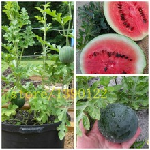 50 bonsai  watermelon seeds Fruit Bonsai seeds Watermelon plant(Citrullus lanatus) NON-GMO for home garden planting