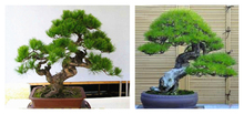 Hot selling 50pcs Japanese pine tree seeds, Pinus thunbergii seeds, bonsai seeds DIY home garden free shipping(China)