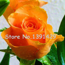 11.11 On Sale!!! 120 Seeds Rose Flower Seeds Very Nice Bright Colors Common Pleasant Fragrant Smell Orange Rose Seeds(China)