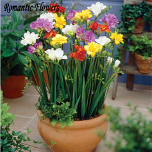 100 Particle/bag Freesias Seeds , Gorgeous DIY Garden Colorful & Fragrant Flower Plant ,Ideal Decorative Flower(China)