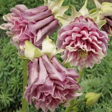 A Lot 100 Mixed Aquilegia (Columbine)Seeds,long bloom season, hardy flower, Beautiful ,DIY Home Garden Plant ,(China)