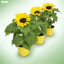 Living Room Mini Dwarf Bonsai Sunflower Seeds,Garden Ornamental Flower Seeds, Bonsai Potted Plant Can Edible Food Seeds 10 Pcs(China)