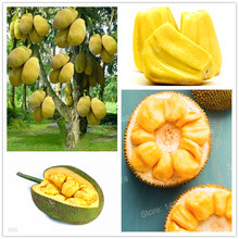 50pcs Fresh Jackfruit seeds fruit trees Tropical Rare Giant Tree Seeds rare miracle fruit garden seeds New Big Flowering Plant