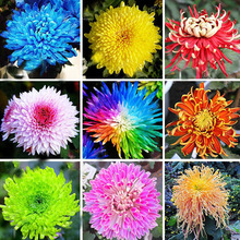 120 pcs/bag 22 Colors Available Chrysanthemum Seeds Chrysanthemum Morifolium Seeds Beautiful DIY Gardening Flower Potted Plant